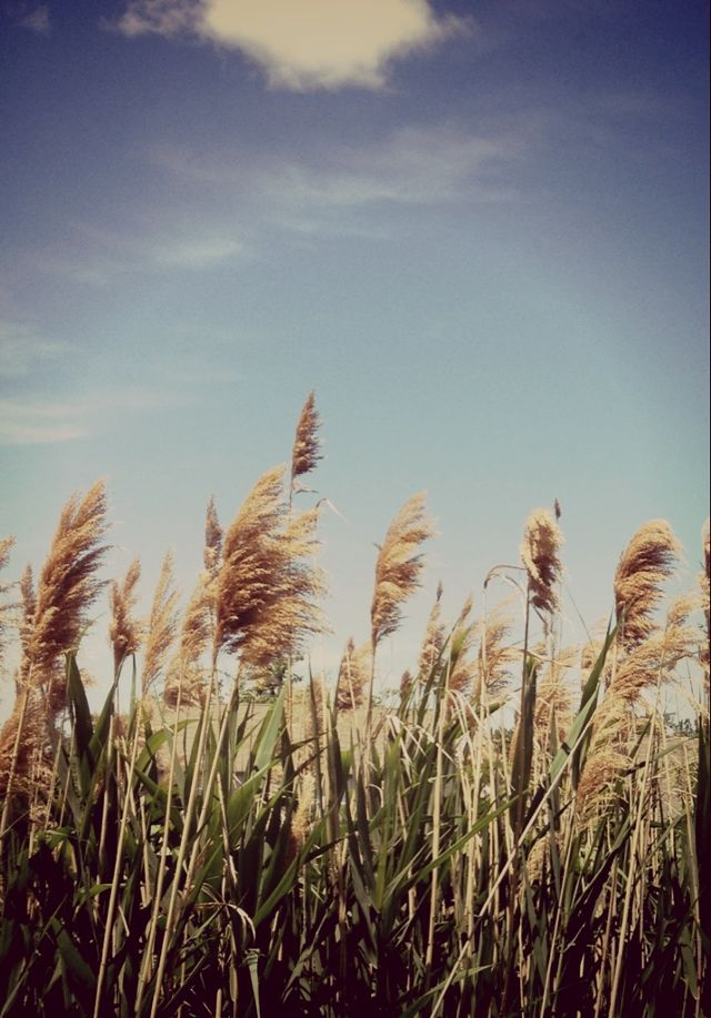 pictures of wheat